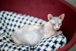 Как понять что кошка рожает шотландская кошка в первый раз