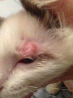 Стригущий лишай лечение у кошек лечение в домашних условиях