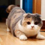 Все о разведении и окрасах шотландских вислоухих кошках