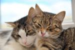 Как сделать так чтобы кошки подружились между собой