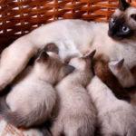 Застой молока у кошки после отнятия котят лечить дома