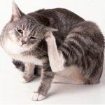 Как быстро вылечить кошку от блох в домашних условиях