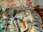 У кошки набухла молочная железа после того как отдали котят