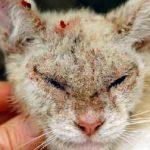 Клещи у человека от кошек симптомы передаются человеку
