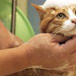 Чем можно обработать лишай у кошки в домашних условиях