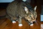 Кошку все время рвет после еды непереваренной пищей