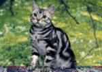 Самые популярные породы кошек фото и названия от а до я