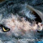 Кожные заболевания сфинксов кошек и их лечение фото