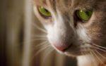 Как долго лечить кальцивироз у кошек в домашних условиях