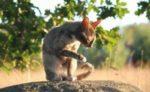 Чем отличаются кошки породы корниш рекс и девон рекс