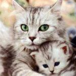 Почему кошки перетаскивают своих котят в другое место