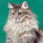 Какая порода у кошек чтобы они были белые и пушистые