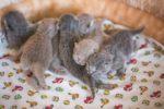 Первые роды у британской кошки сколько котят может быть