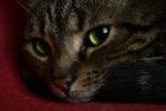 Сколько нужно дать кошке вазелинового масла при запоре