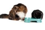 Можно ли беременную кошку кормить только сухим кормом