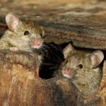 Как вывести мышей из дома народными средствами без кошки