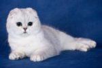 Чем кормить британских вислоухих кошек и уход за ними