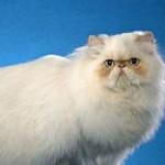 Лучшая порода кошек для квартиры и детей с фотографиями