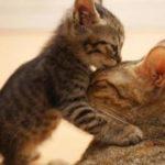Как подкормить котят если не хватает у кошки молока