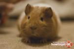 Морские свинки уход и содержание в домашних условиях видео ютуб в клетках