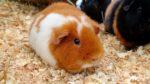 Морские свинки уход и содержание сколько они живут