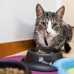Можно ли давать кошке молоко при кормлении сухим кормом