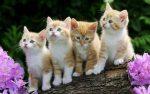 Когда можно отдавать котят мейн кунов