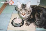 Чем и как кормить котят породы мейн кун