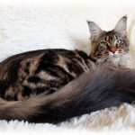 Длинна хвоста у котят мейн кун