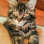 Договор купли продажи котят мейн кун