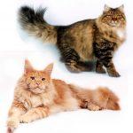 Фото котов сибирских и мейн кунов
