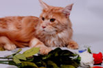 Кот на вязку мейн кун без документов