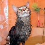 Как нужно часто мыть мейн куна