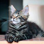 Как правильно ухаживать за котенком мейн куна