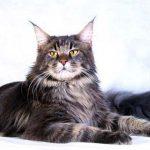 Кошки породы мейн кун характер шерсть