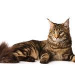 Как правильно выбрать котенка мейн кун в разведение