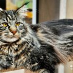 Кот мейн кун для вязки в челябинске