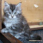 Котята мейн кун в красноярске недорого