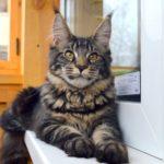 Котята мейн кун в новгороде в контакте люба