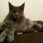 Котята мейн кунов из питомника красноярск