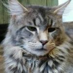 Коты мейн куна без документов в краснодаре