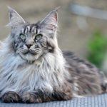 Сколько весит кошка породы мейн кун