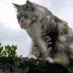 Размер котенка мейн кун по месяцам таблица