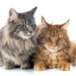 Как вязать кота мейн куна в первый раз