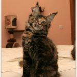 Питомник кошек в рязани мейн кун