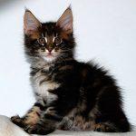 Сколько нужно есть котенку мейн куна