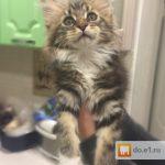Стоимость котят мейн кун в екатеринбурге