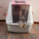 Мейн кун котята приучить к лотку