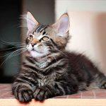 Уход за мейн кунами котятами кормление