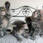 Как и чем мыть котенка мейн куна